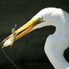 A great egret just after catching a bream at Huntington Beach State Park. This photo won third place in the Wildlife category in the Winyah Rivers Foundation Photo Contest in 2009.