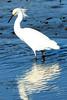 Snowy egret at Huntington Beach State Park, SC