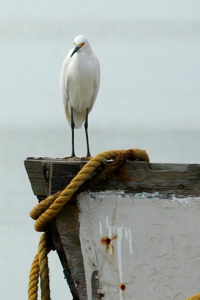 Snowy egret at Hunting Island, SC