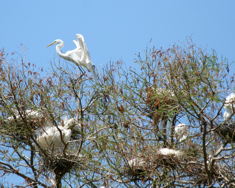 Great Egret Rookery at Waccatee Zoo, Socastee SC