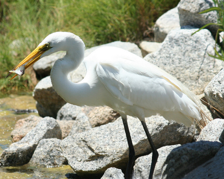A great egret just after catching a bream at Huntington Beach State Park.