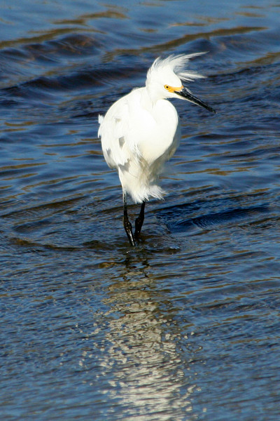 Snowy egret on a windy day.