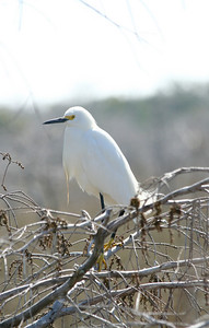 Snowy Egret in the Florida Everglades