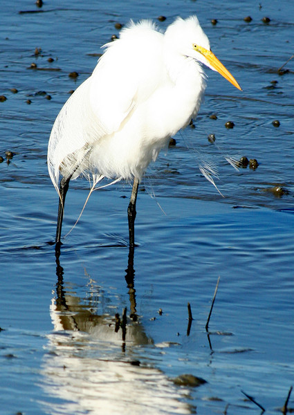 Great egret fishing at Huntington Beach, SC