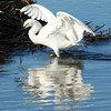Snowy egret at Huntington Beach State Park, SC