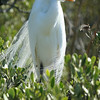 Great egret in the Florida Keys