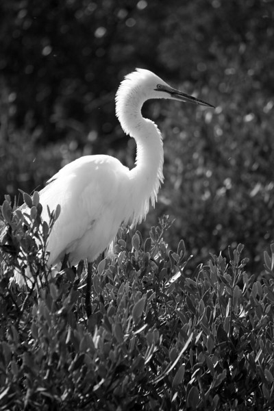 Great Egret, Florida Keys