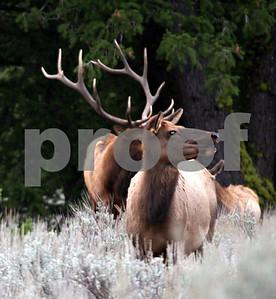 Wildlife: Elk Pack 1