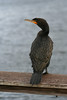 Double-Crested Cormorant in the Florida Everglades