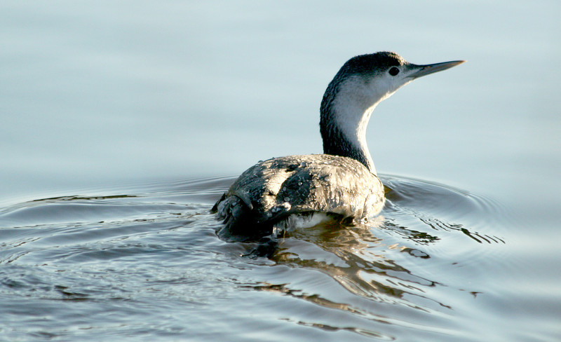 Common Loon, Huntington Beach State Park
