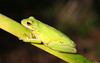 Green Tree Frog, Plantersville (Georgetown County) SC