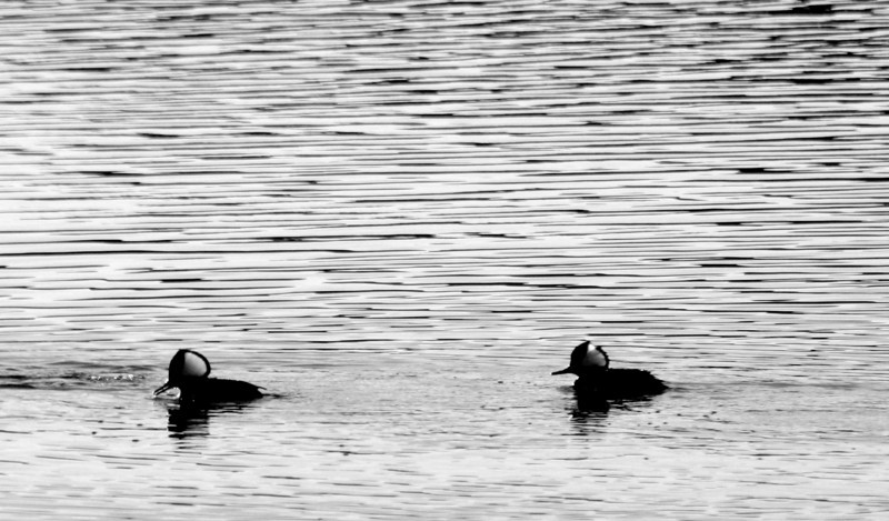 Hooded Mergansers, Huntington Beach State Park, SC