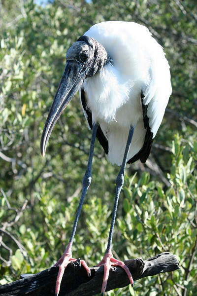 Wood Stork, Florida Keys