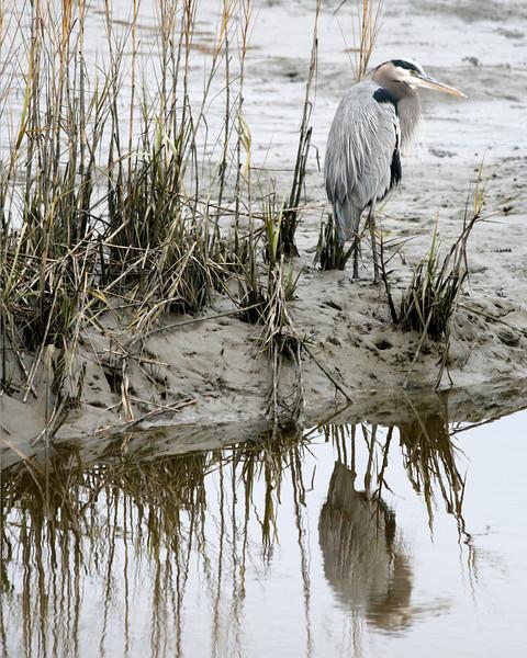 Great Blue Heron at Huntington Beach State Park, SC