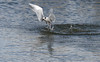 Forster's Tern fishing, Huntington State Park, Murrell's Inlet, SC