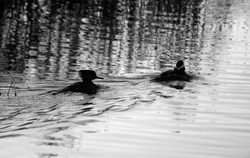 Mergansers at Huntington Beach State Park