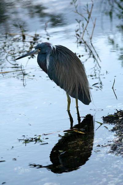 Tri-Colored Heron in the Florida Everglades