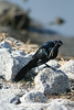 Boat Tail Grackle, Huntington Beach State Park, SC