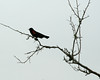 Red-winged Black Bird, Plantersville, SC