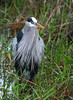 Great Blue Heron in Florida Everglades