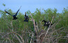 Double-Crested Cormorants in the Florida Everglades