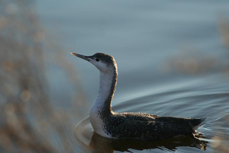 Common Loon, Huntington Beach State Park