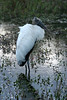 Wood Stork in the Florida Everglades