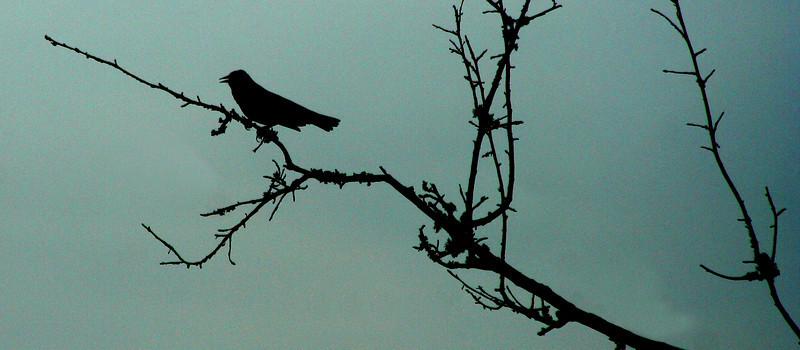 Red-winged Black Bird, Plantersville, SC
