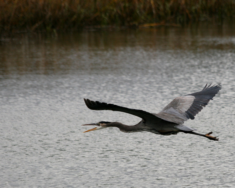 Great Blue Heron in Calabash, NC