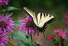 Eastern Tiger Swallowtail, Conway SC