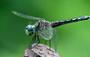Dragon Fly (Blue Dasher) Conway SC