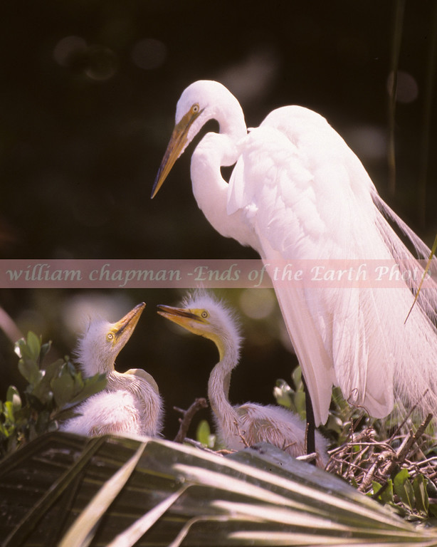 Great Egret watching over chicks