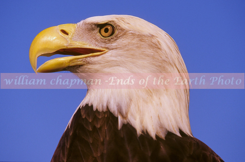Bald Eagle profile with blue showing through beek