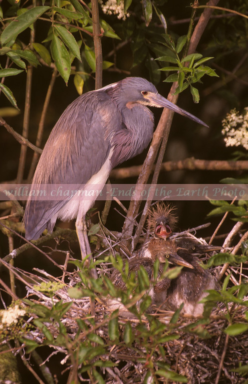 Heron on nest with young