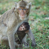 "One of many rescued macaques with her baby. As her baby gets more confident he will start to explore the habitat and all the climbing frames in it. <br /> <br /> All print proceeds go to the WFFT, who care for all these rescued animals.<br />  <a href=""http://www.wfft.org"">http://www.wfft.org</a>"