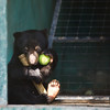 "This baby sun bear was still very nervous and not used to humans. This is normally a good thing, but since he needs to be hand reared, he will most likely become accustomed to them.<br /> <br /> He is given lots of enrichment to keep him busy and happy, and he just couldn't decide between his treat-filled wooden tube and his tennis ball. He decided to have both!<br /> <br /> All print proceeds go to the WFFT, who care for all these rescued animals.<br />  <a href=""http://www.wfft.org"">http://www.wfft.org</a>"