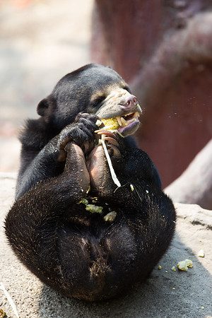 """This little sun bear had been waiting all afternoon for enrichment. When it finally came, nothing could protect the sweetcorn from this vicious attack!<br /> <br /> All print proceeds go to the WFFT, who care for all these rescued animals.<br />  <a href=""""http://www.wfft.org"""">http://www.wfft.org</a>"""