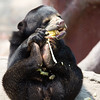 "This little sun bear had been waiting all afternoon for enrichment. When it finally came, nothing could protect the sweetcorn from this vicious attack!<br /> <br /> All print proceeds go to the WFFT, who care for all these rescued animals.<br />  <a href=""http://www.wfft.org"">http://www.wfft.org</a>"
