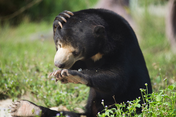 "This adorable sun bear was so confused at the little bubble that had formed on his hand that he sat entranced, sniffing it, waving it around and trying to discover its secrets.<br /> <br /> He had just taken a drink from his pool at the WFFT in Thailand, but was bamboozled as to what this shiny thing was, or where it had come from. After a full minute or so of confusion, he decided the best course of action was to eat it.<br /> <br /> All print proceeds go to the WFFT, who care for all these rescued animals.<br />  <a href=""http://www.wfft.org"">http://www.wfft.org</a>"