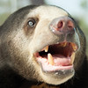 "This sun bear has beautiful blue eyes and was very happy to see humans, despite her past. She lives with around 30 sun and moon bears thanks to the WFFT and Free the Bears.<br /> <br /> All print proceeds go to the WFFT, who care for all these rescued animals.<br />  <a href=""http://www.wfft.org"">http://www.wfft.org</a>"