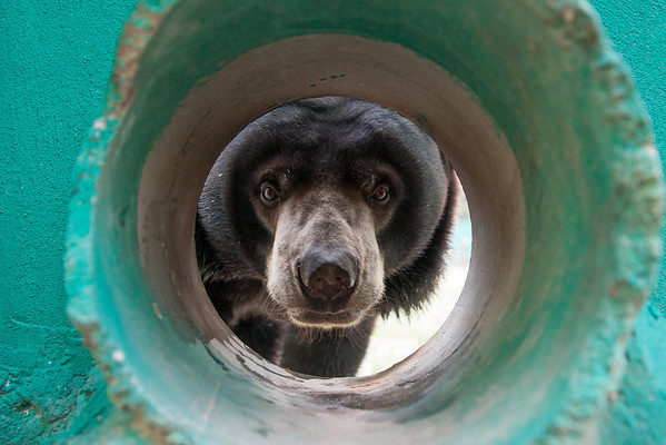 "One of the WFFTs gorgeous moon bears peeks hello from one of the drainage pipes on his big forest enclosure.<br /> <br /> All print proceeds go to the WFFT, who care for all these rescued animals.<br />  <a href=""http://www.wfft.org"">http://www.wfft.org</a>"