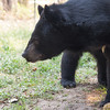 "Bouncer is Free the Bears ambassador at the WFFT bear habitats which Free the Bears helps to support.<br /> <br /> Bouncer was caught in a snare and lost one of his front legs, meaning he can never be returned to the wild. He has just as much fun finding his enrichment as the other bears do though, and managed to seek and destroy about 5 pineapples in as many minutes.<br /> <br /> All print proceeds go to the WFFT, who care for all these rescued animals.<br />  <a href=""http://www.wfft.org"">http://www.wfft.org</a>"
