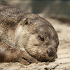 """Although he looks lazy, Ollie the otter spends most of the day squeaking for attention and playing in his pond with his enrichment.<br /> <br /> All print proceeds go to the WFFT, who care for all these rescued animals.<br />  <a href=""""http://www.wfft.org"""">http://www.wfft.org</a>"""