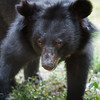 "Beautiful moon bear Jammy walks her enclosure looking for food. Jammy was kept on a farm as a pet, but was going to be killed for food. Luckily the WFFT rescued her first, and she is now living happily integrated with her moon bear friends.<br /> <br /> All print proceeds go to the WFFT, who care for all these rescued animals.<br />  <a href=""http://www.wfft.org"">http://www.wfft.org</a>"