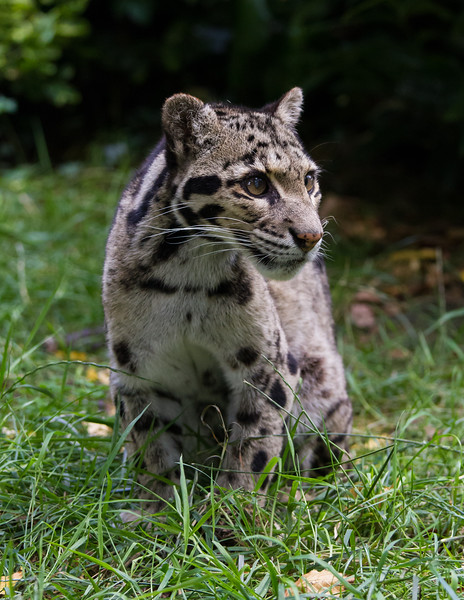 "Clouded Leopard ""mandalay"""