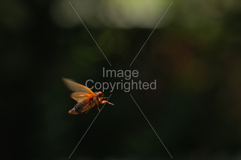 17 Year Cicada in Flight
