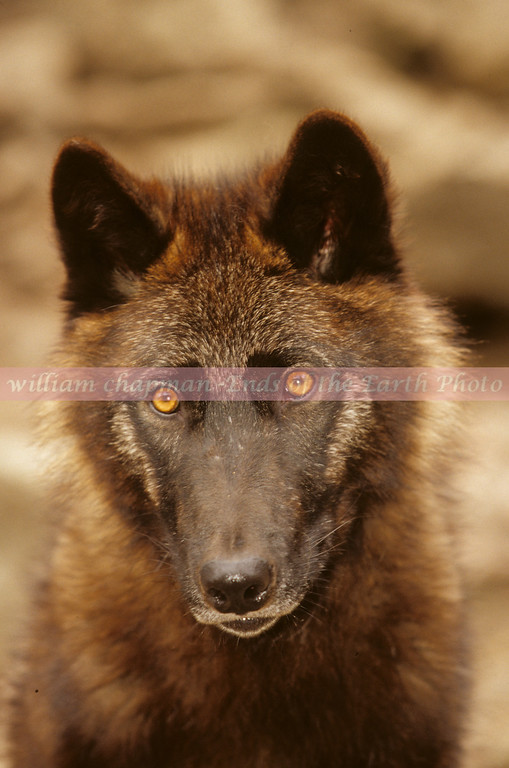 American Grey Wolf female juvenile