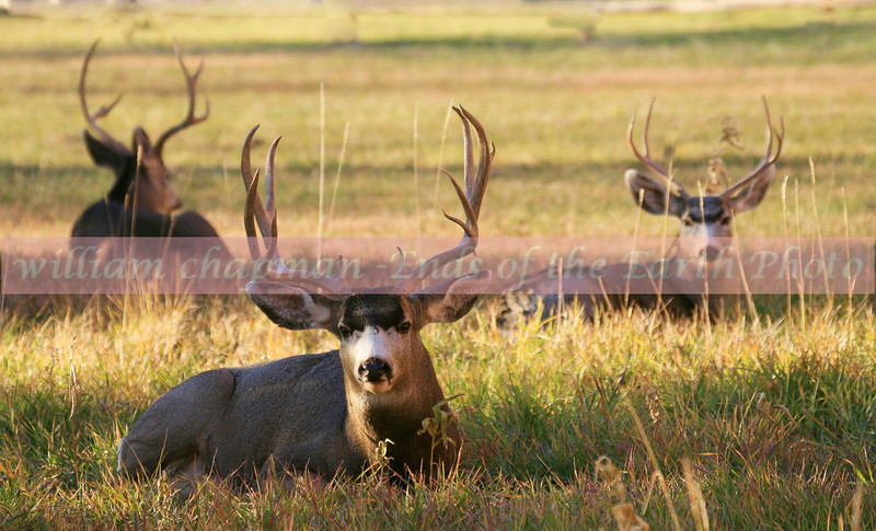 Mule Deer bachelor herd