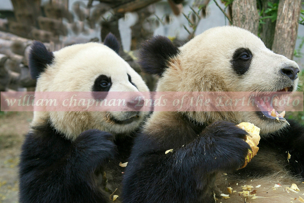 Pair Giant Panda- Western China