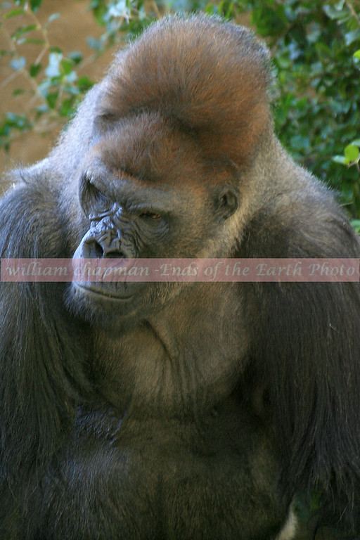 You Talkin to Me- Lowland Gorilla male